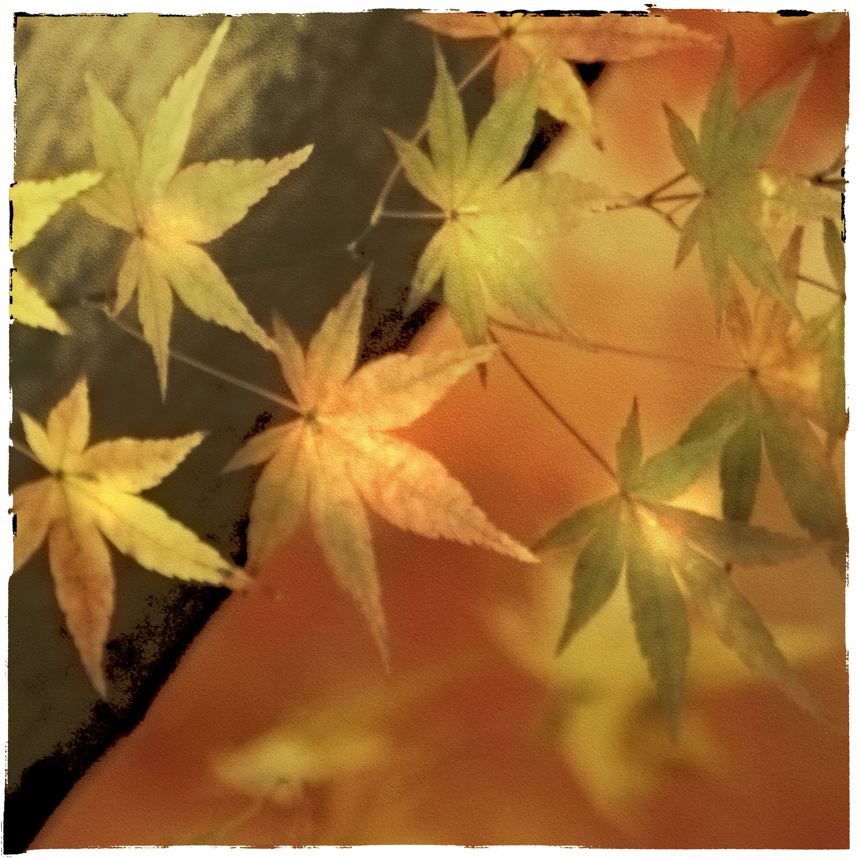 japanesemapleleaves-6.jpg